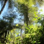 St Johns Bush native ferns and 150 year old kauri tree