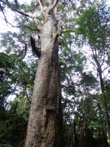 Bayview Giant Kauri tree © 2011-2013 Unleashed Ventures Limited