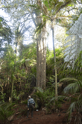 650 year old kahikatea tree in Awaruku Bush Reserve