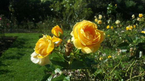 Roses at Parnell Rose Gardens