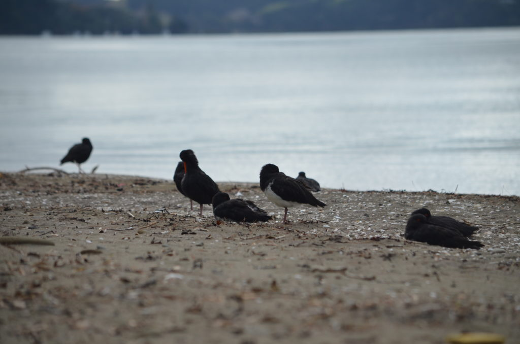 Oyster Catchers on Sullivans Beach Mahurangi Regional Park