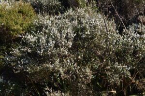 100 Acre Long Bay Tea Tree