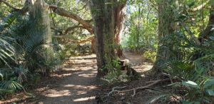 Large native trees are a feature of Puhinui Stream walk